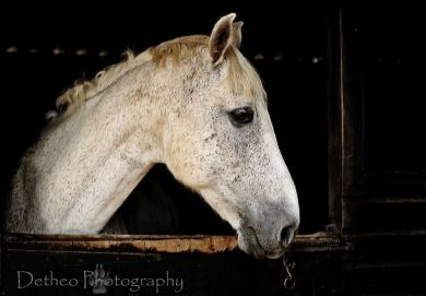 Grey Stallion - Horse / Equine in stable by Detheo Photography
