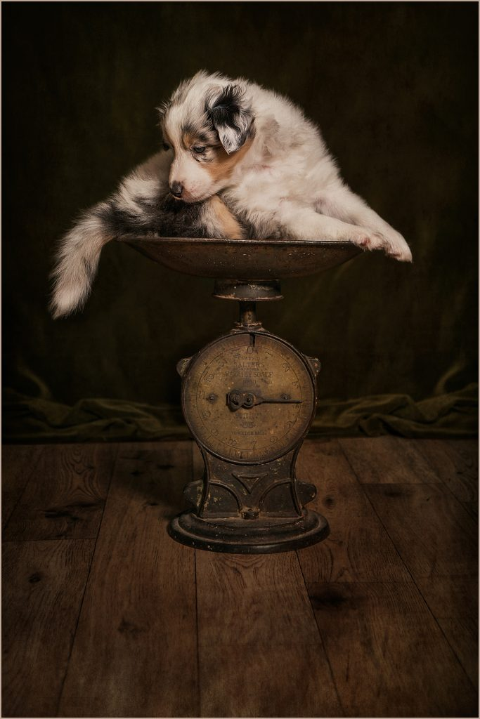 Gold Award Winning Pet Photography -image of Sheltie / dog puppy.