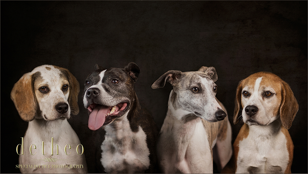 Beautiful images of dogs captured by Award Winning, Bishops Stortford based, Specialist Pet Photographer, Detheo Photography.