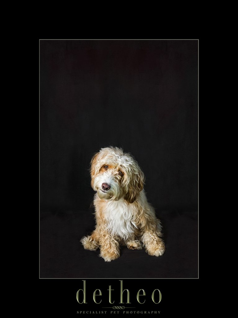 Specialist Pet Photographer Detheo Photography - Gold Award Winning Pet Photography -image of Cockapoo Dog / Puppy.Bishops Stortford Hertfordshire Essex