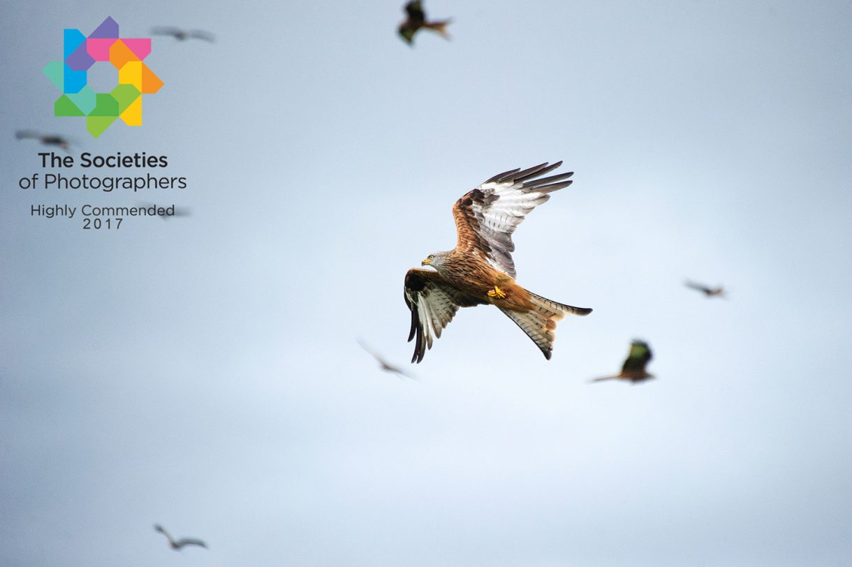 Award Winning Image Of Red Kite taken by Detheo Photography