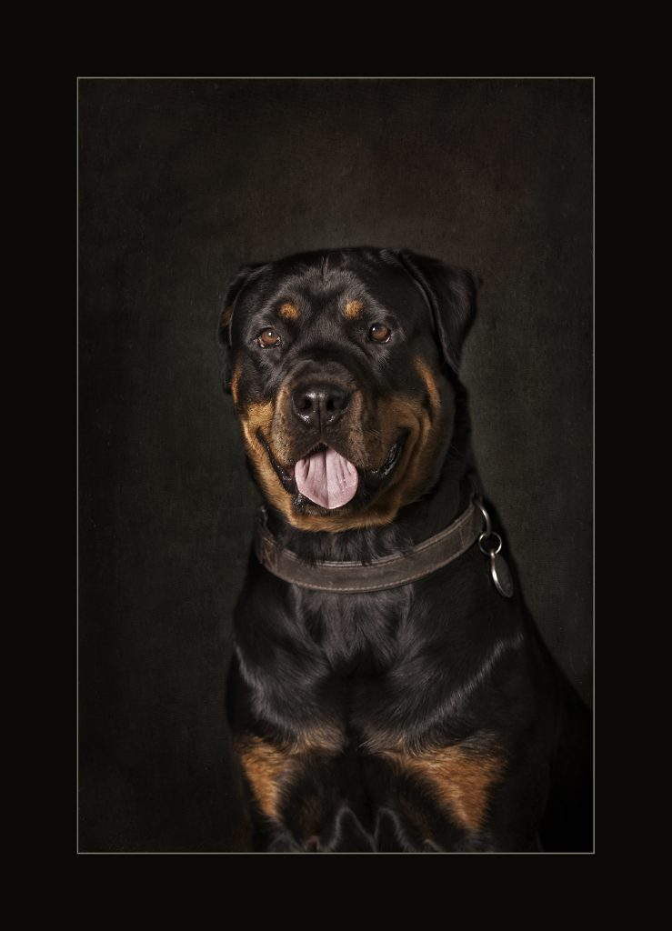 Rottweiler Dog by Detheo Photography, Specialist Pet Photographer,