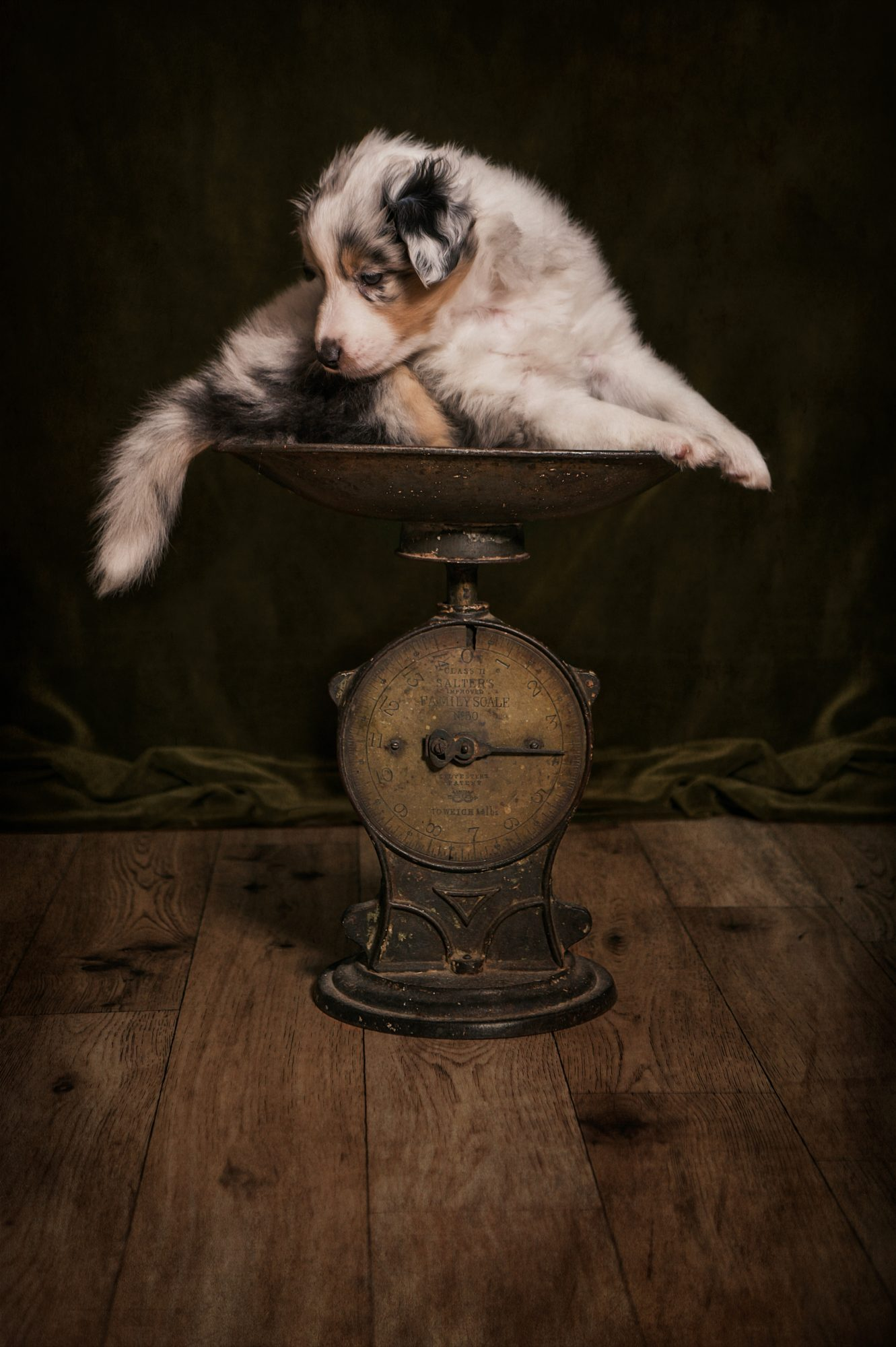 Specialist Pet Photography Watch Me Grow session with Sheltie Puppy in our Studio. United Kingdom. Captured by award winning pet photographer, Detheo Photography.