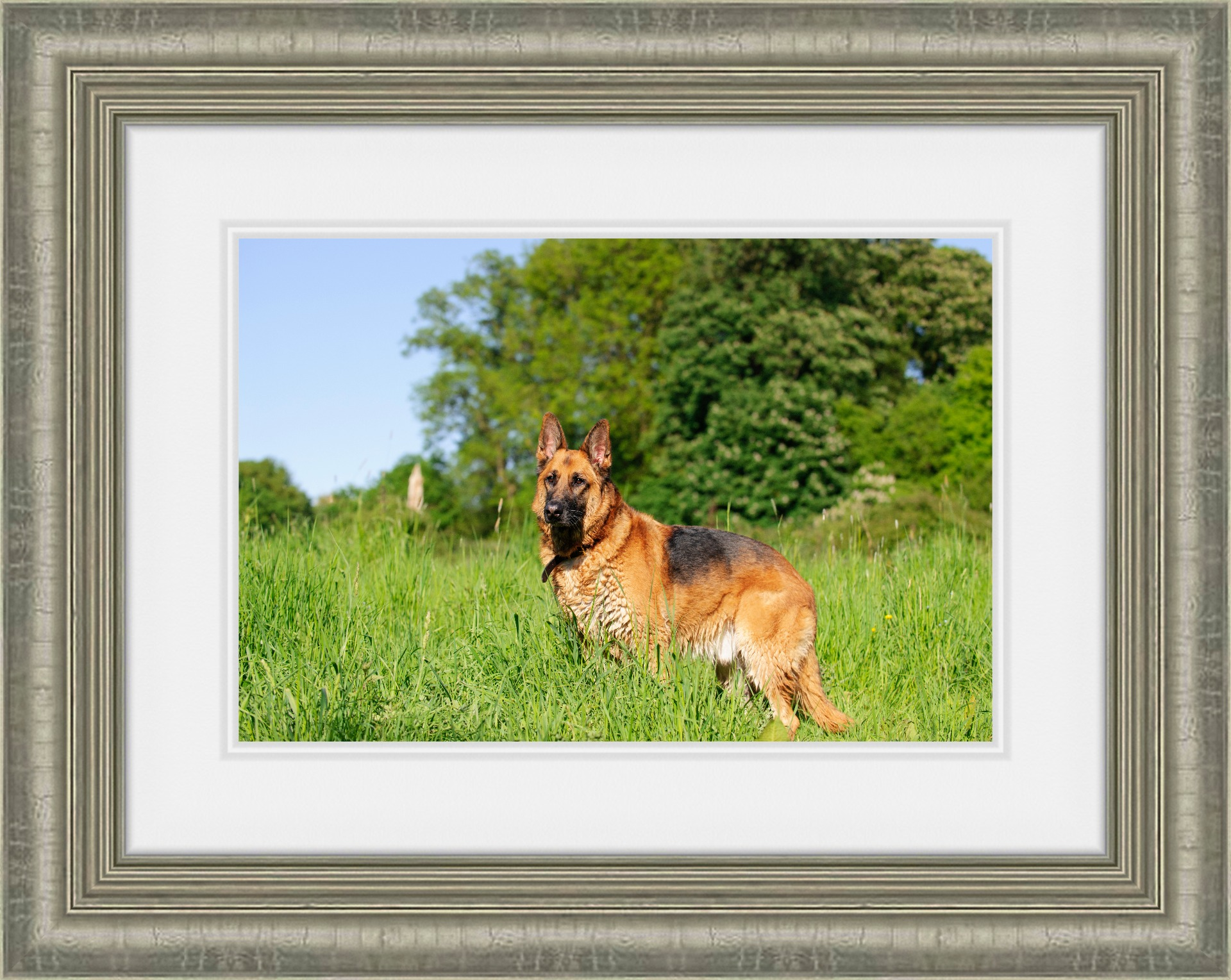 Framed Print of German Shepherd dog.